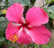 Brede Roze Hibiscus vector illustratie