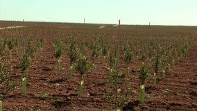 Brede spruit van olijfgebied met zuigelingsbomen stock videobeelden