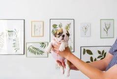 bredeer在手上拿着一只牛头犬的一只小小狗 库存图片