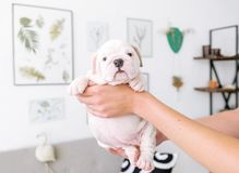 bredeer在手上拿着一只牛头犬的一只小白色小狗 库存图片