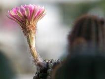 Bredvid av den rosa kaktusblomman var blommande på den gröna stjälk Klibbat på en kaktus Kopieringsutrymme för text och innehåll Arkivfoton