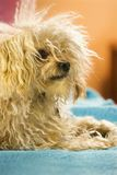 портрет собаки breed смешанный Стоковая Фотография