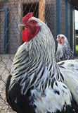 Breed Brama is decorative breeds of chickens Stock Photos