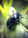 Breed of bugs. On a leaf Royalty Free Stock Photos