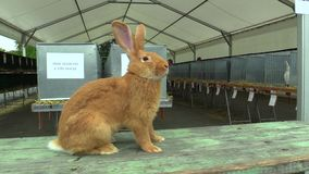 Breed of Burgundy rabbit at the exhibition in the Czech Republic. Genofond for species conservation, European Union stock footage