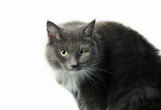 Breed cat Stock Photography