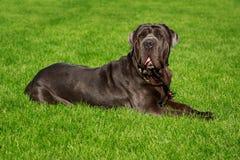 Breed dog Neapolitan Mastiff. On a green grass royalty free stock photos