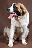 Breed dog Saint Bernard, sits studio photo on brown background. Stock Image