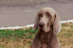 Breed dog Weimaraner stock photo