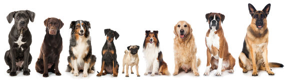 Breed dogs. Isolated on white Stock Images