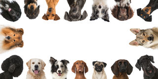 Breed dogs. Many heads of breed dogs isolated on white Royalty Free Stock Photo