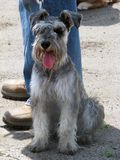 Schnauzer, the most friendly, loyal and cute dog royalty free stock photography