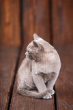 Breed of European Burmese cat, gray, sitting on a brown wooden background Royalty Free Stock Photos