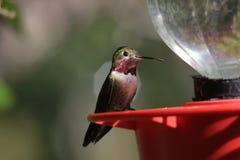 Breed-gefactureerde Kolibrie Royalty-vrije Stock Foto