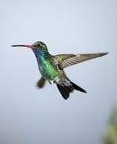 Breed-gefactureerde Kolibrie Stock Foto's