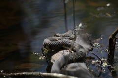 Breed-gestreepte Waterslang op een Logboek Royalty-vrije Stock Afbeelding