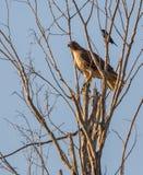 Breed-gevleugelde die Havik op boom wordt neergestreken Stock Foto's