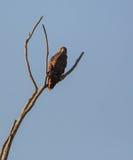 Breed-gevleugelde die Havik op een droge boom wordt neergestreken Stock Foto's
