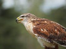 Breed-gevleugelde Havik royalty-vrije stock fotografie