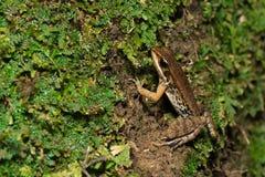 Breed-gevouwen kikker stock foto