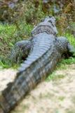 Breed-gewroete Kaaiman & x28; Kaaiman latirostris& x29; stock foto