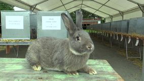 The breed of the giant rabbit chinchilla, the exhibition. In the Czech Republic, breeding in Moravia for conservation of genofond, European Union stock video