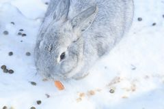 Breed gray giant the same large size. The weight of an adult animal is 4-7 kg, but more often there are individuals at 5-6 pounds. The body of the rabbit in Royalty Free Stock Images