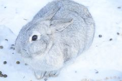 Breed gray giant the same large size. The weight of an adult animal is 4-7 kg, but more often there are individuals at 5-6 pounds. The body of the rabbit in Royalty Free Stock Photo