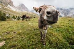 Breed hoekbeeld van ezel in Dolomiet Stock Fotografie