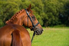 Breed horse in nature. Portrait of a fox colored breed horse with bridle in nature Royalty Free Stock Photography