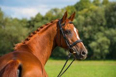 Breed horse in nature. Portrait of a fox colored breed horse with bridle in nature Stock Photography