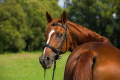 Breed horse in nature. Portrait of a fox colored breed horse with bridle in nature Royalty Free Stock Image