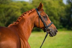 Breed horse in nature. Portrait of a fox colored breed horse with bridle in nature Stock Photos