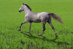 Breed horse Orlov trotter runs on grass stock images