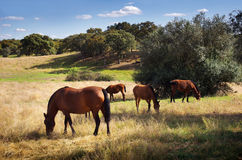 Breed of horses. Landscape with portuguese breed of horses pasturing under blue sky Stock Images