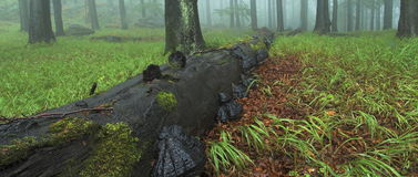 Breed hout met boomstam Stock Afbeeldingen