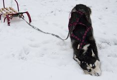 Breed husky sled dogs. In the winter. Northern husky dogs. riding on dogs royalty free stock photo
