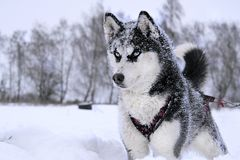 Breed husky sled dogs. In the winter. Northern husky dogs. riding on dogs stock photos