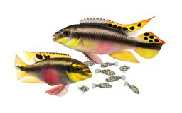 Breed Pulcher kribensis with swarm fry fish cichlid Aquarium fish Pelvicachromis pulcher. Fish royalty free stock image