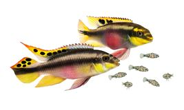 Breed Pulcher kribensis with swarm fry fish cichlid Aquarium fish Pelvicachromis pulcher. Fish royalty free stock images