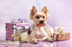 Breed Yorkshire Terrier and gifts Royalty Free Stock Photography