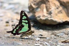 Breedband blauwe vlinder in water royalty-vrije stock afbeelding