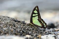 Breedband blauwe vlinder in water stock foto