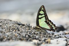 Breedband blauwe vlinder in water stock afbeelding