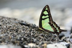 Breedband blauwe vlinder in water stock afbeeldingen