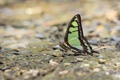 Breedband blauwe vlinder in water royalty-vrije stock foto's
