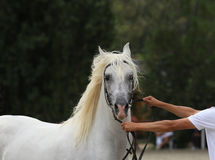 Breeder hold a horse with bridle on a horse show. Stock Photo