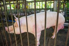 Breeder pink pigs on a farm stock image