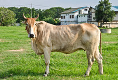 Breeders. Cow breed with elegant shape Stock Images