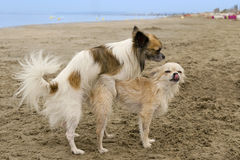 Breeding. Two purebred chihuahuas breeding on a beach royalty free stock images